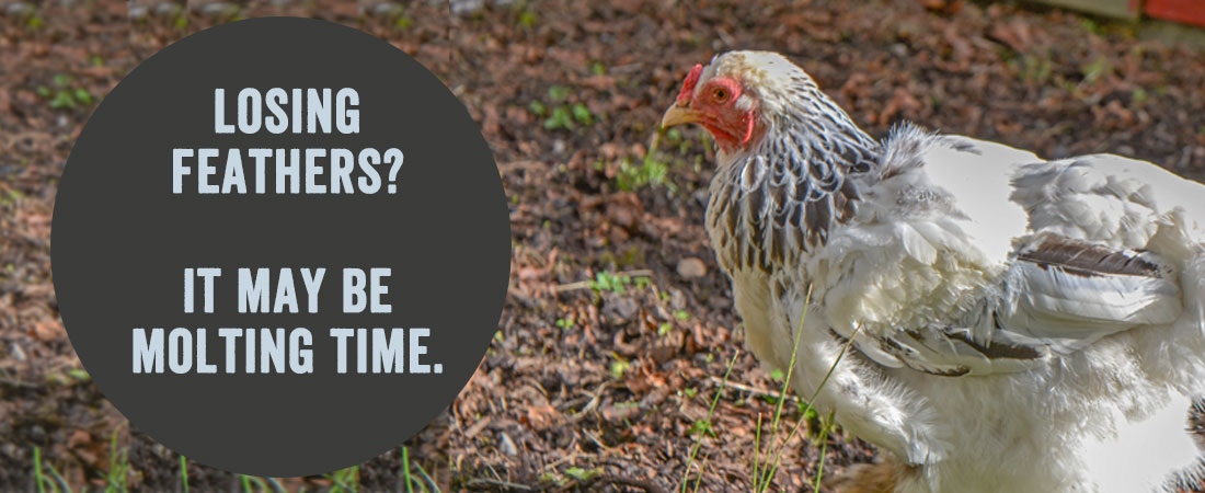 Grubs for Molting Chickens