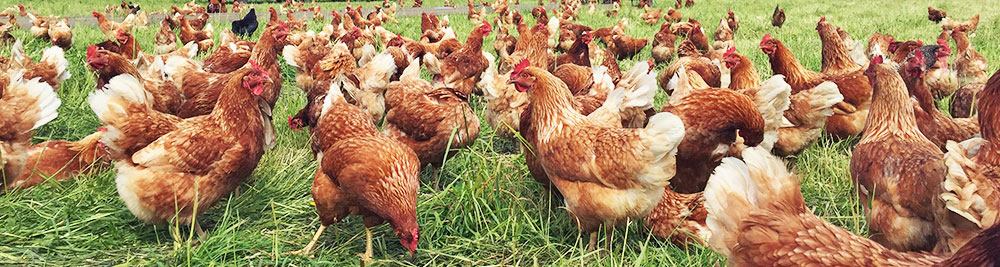 prevent-salmonella-backyard-chickens