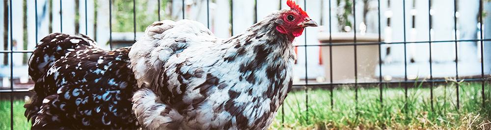 scratch-peck-feeds-chicken-ordinances1