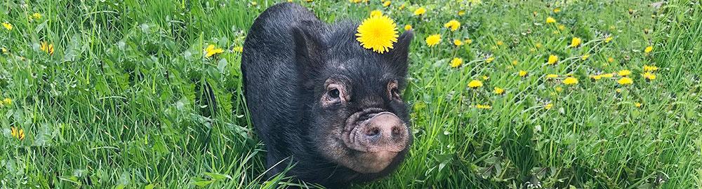 scratch-peck-mini-pig-organic