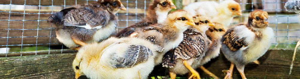 scratch-peck-organic-starter-feed